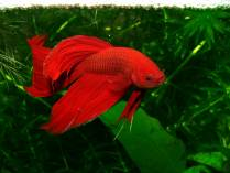 Pez tropical rojo