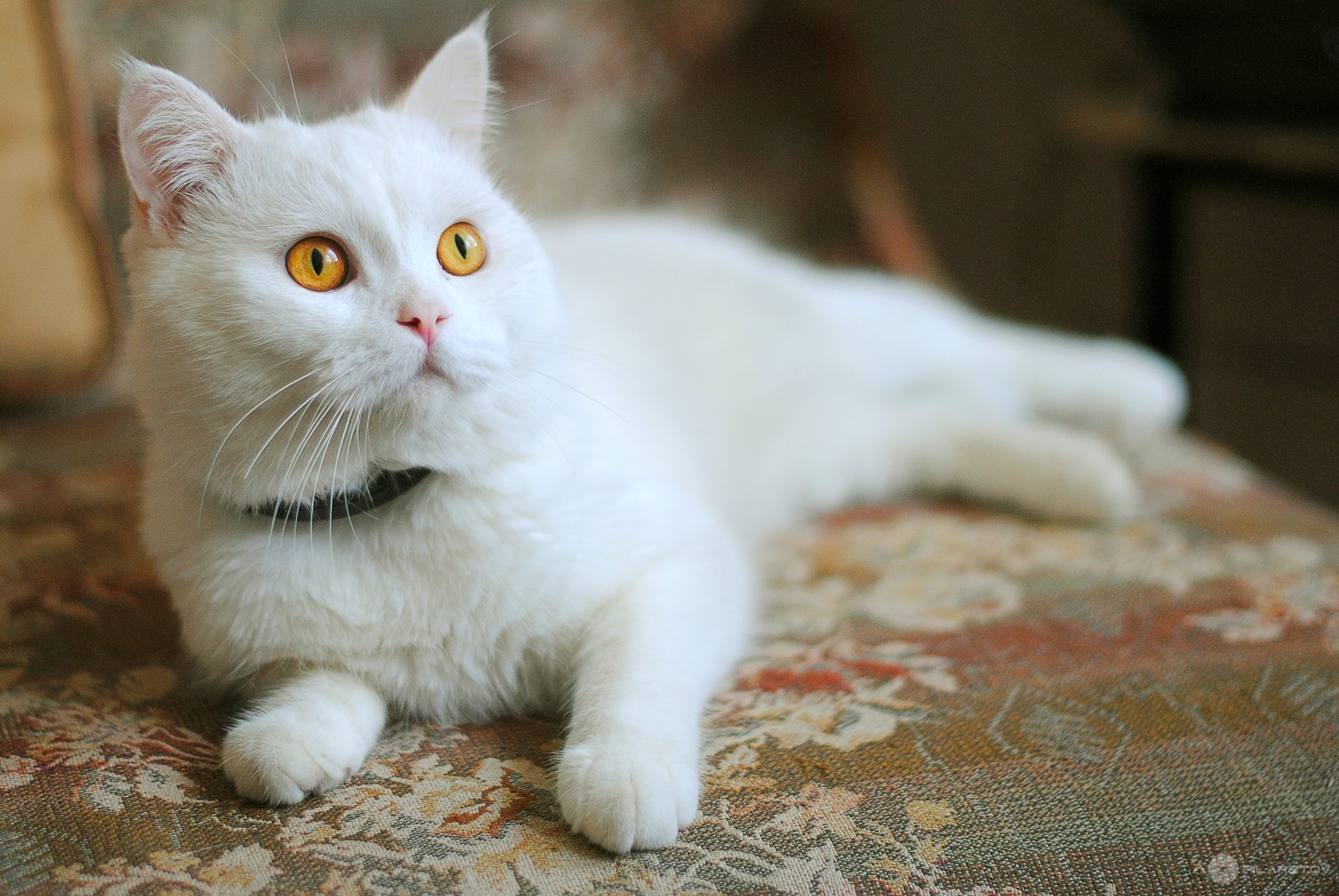 Gatito blanco HD