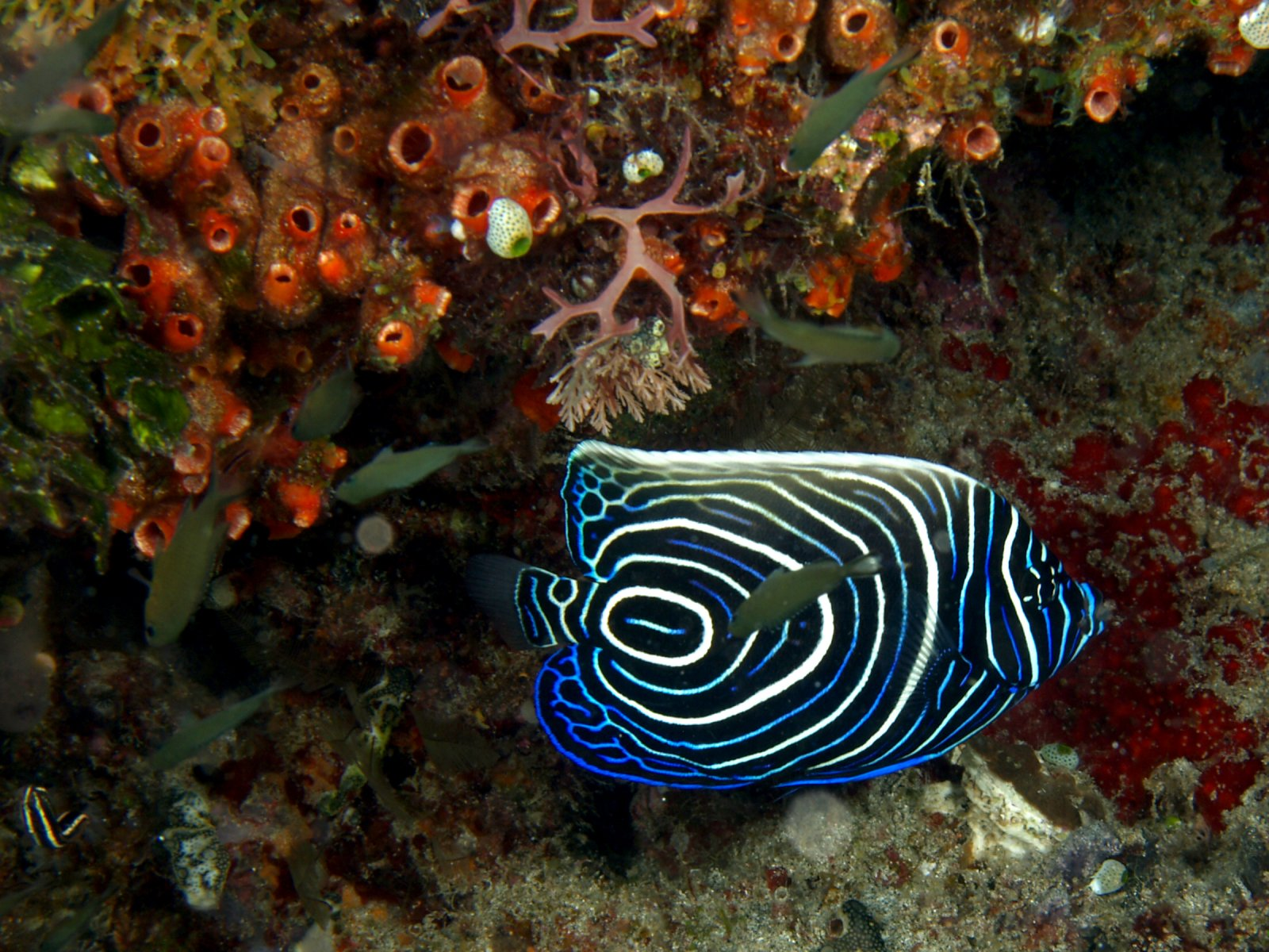 Pez tropical de colores hd for Black and white striped fish freshwater